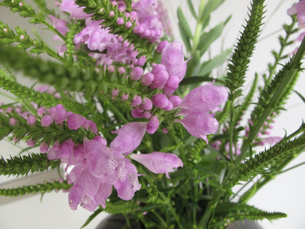 Physostegia wallpapers HD