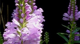 Physostegia Wallpaper For IPhone