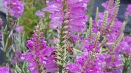 Physostegia Wallpaper For IPhone Download
