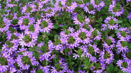 Scaevola Photo