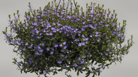 Scaevola Photo Download