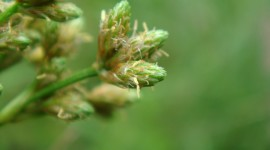 Scirpus Wallpaper For Desktop