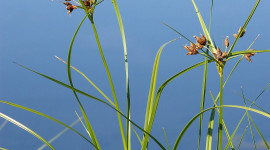 Scirpus Wallpaper For IPhone Free