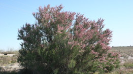 Tamarisk Wallpaper