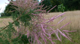 Tamarisk Wallpaper Free