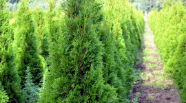 Thuja Wallpaper For Android