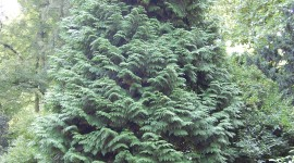 Thuja Wallpaper For Android#1