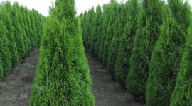 Thuja Wallpaper For IPhone Download