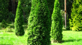 Thuja Wallpaper For IPhone Free