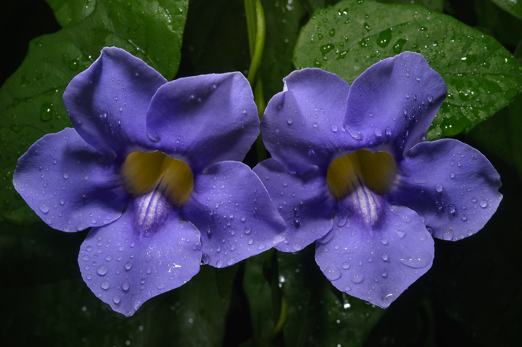 Thunbergia wallpapers HD