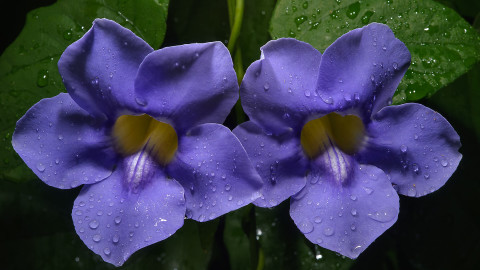 Thunbergia wallpapers high quality
