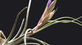 Tillandsia Desktop Wallpaper HD