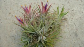 Tillandsia Picture Download