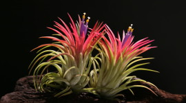 Tillandsia Wallpaper HQ