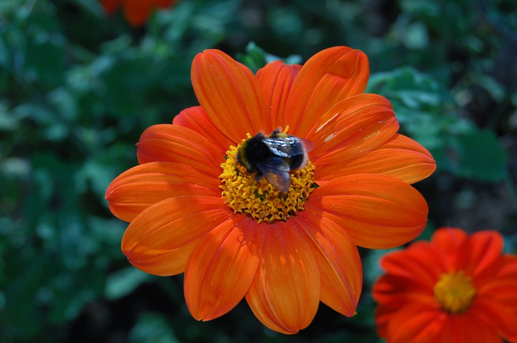 Tithonia wallpapers HD