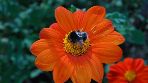 Tithonia wallpapers high quality