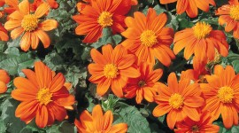 Tithonia Wallpaper For IPhone#1