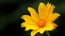Tithonia Wallpaper Gallery