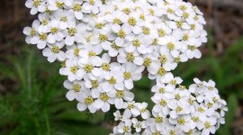 Yarrow Flower Aircraft Picture