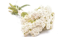 Yarrow Flower Image Download