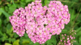 Yarrow Flower Photo Download