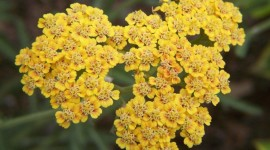 Yarrow Flower Photo Free