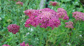 Yarrow Flower Wallpaper 1080p