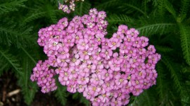 Yarrow Flower Wallpaper