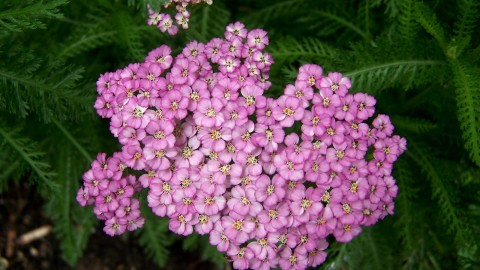 Yarrow Flower wallpapers high quality