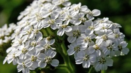 Yarrow Flower Wallpaper Download