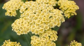 Yarrow Flower Wallpaper For Desktop