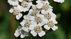 Yarrow Flower Wallpaper For Mobile