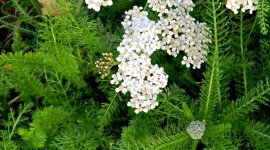 Yarrow Flower Wallpaper For Mobile#1
