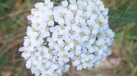 Yarrow Flower Wallpaper For PC