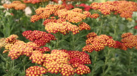 Yarrow Flower Wallpaper Free