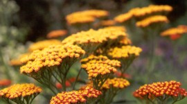 Yarrow Flower Wallpaper Full HD