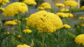 Yarrow Flower Wallpaper Gallery