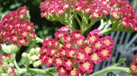 Yarrow Flower Wallpaper HQ