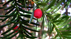 Yew Photo Download