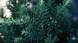 Yew Photo Free