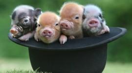 4K Funny Pig Wallpaper Gallery
