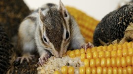 Chipmunk Eats Corn Aircraft Picture