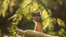 Chipmunk Eats Corn Photo