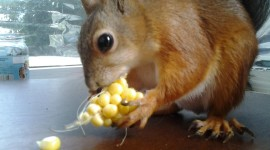 Chipmunk Eats Corn Photo Free