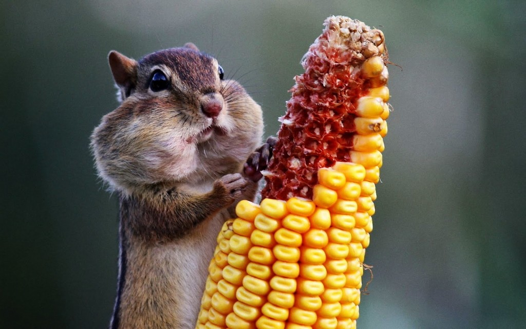 Chipmunk Eats Corn wallpapers HD