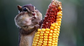Chipmunk Eats Corn Wallpaper