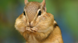 Chipmunk Eats Corn Wallpaper For IPhone