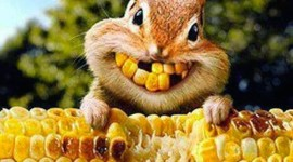 Chipmunk Eats Corn Wallpaper For Mobile#1