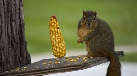 Chipmunk Eats Corn Wallpaper For PC
