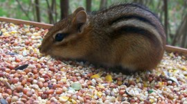 Chipmunk Eats Corn Wallpaper Gallery